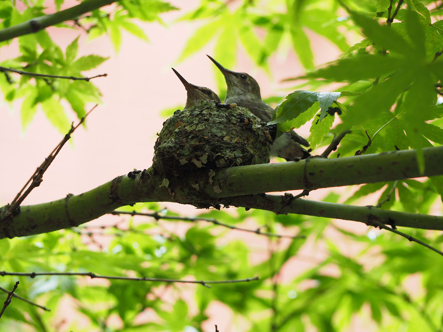 A picture of two hummingbirds in a nest, barely grown