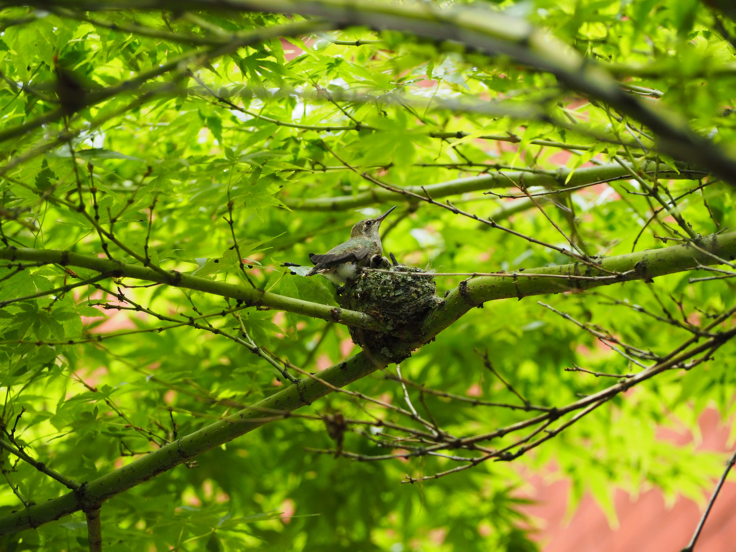 A picture of two hummingbirds in a nest, now fully grown. One perches on the side of the nest, while the o... <a href=